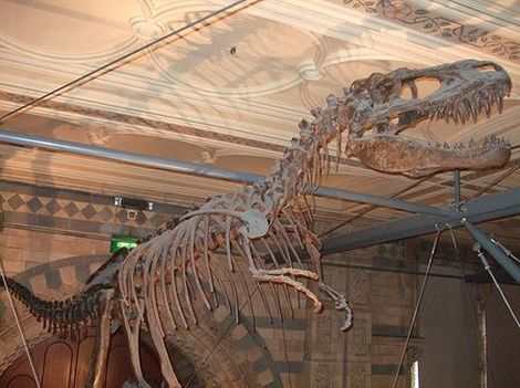 Fossile du dinosaure Albertosaurus.