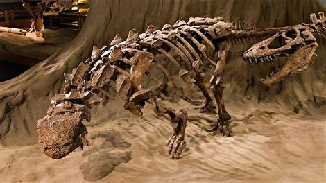 Fossile du dinosaure Ankylosaurus.