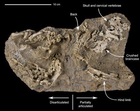 B�b�s dinosaures fossiles encore dans leur nid.