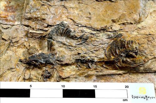 Fossile de dinosaure de Cor�e.