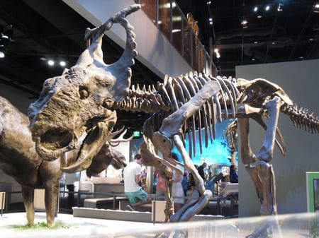 Squelette fossile du dinosaure Pachyrhinosaurus.
