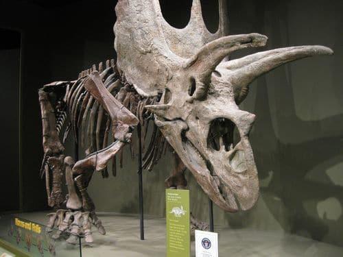 Pentaceratops fossile, avec ses trois cornes et les deux excroissances latérales.