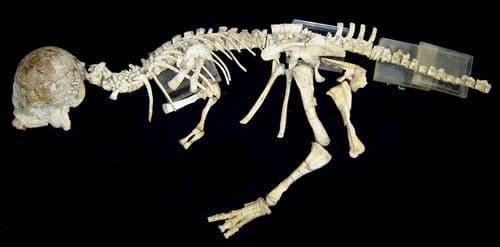 Fossile du dinosaure Prenocephale.