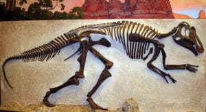 Fossile de dinosaure Prosaurolophus.