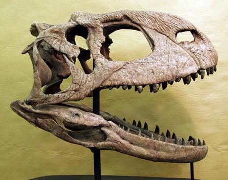 Crâne fossile de Rajasaurus.
