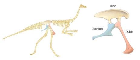 Un dinosaure Saurischien et les os de son bassin.