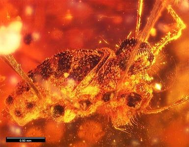 Arachnide fossile vieille de 100 millions d'années.
