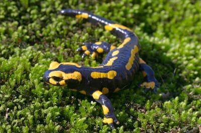 Une salamandre.