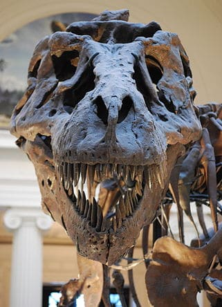 Fossile de T rex (Tyrannosaurus).