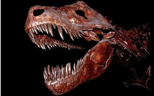 T. rex : crâne fossile avec ses dents, particulièrement grandes !