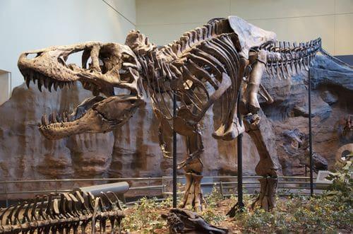 Squelette fossilisé de T rex.