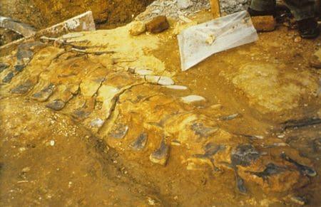 Colonne vertébrale fossilisé d'Iguanodon bernissartensis en cours d'extraction dans le Barrémien de Saint-Dizier en 1971.