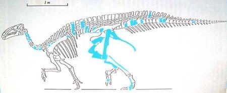 Iguanodon atherfieldensis de l'Hauterivien de Wassy (Haute-Marne).