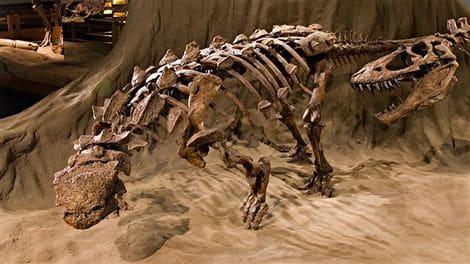 Un squelette fossile d'Ankylosaurus.