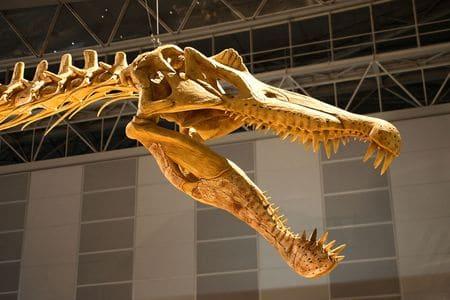 Fossile de spinosaurus.