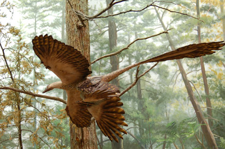 Le microraptor en vol « biplan » (American Museum of Natural History, New York)