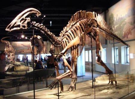 Fossile de Parasaurolophus.