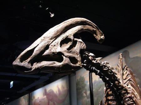 Crâne fossile de Parasaurolophus.