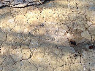 Empreintes de pas fossiles de dinosaure.