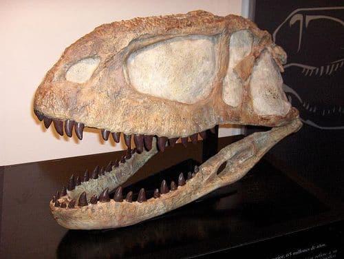 Crâne fossile du dinosaure Abelisaurus.