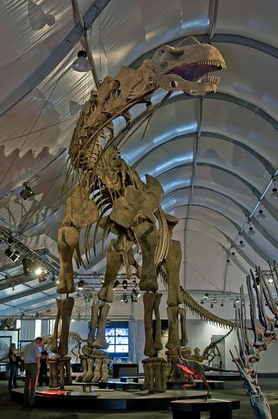 Squelette fossile du dinosaure Argentinosaurus.