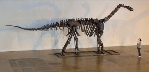 Squelette fossile de dinosaure Camarasaurus. Notez sa taille par rapport à la personne à droite.