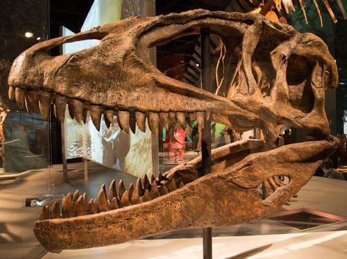 Crâne fossile de dinosaure Carcharodontosaurus, on peut remarquer les dents particulièrement longues et acérées.