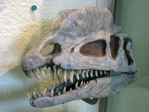 Crâne fossile de Dilophosaure, avec ses deux grandes crêtes.
