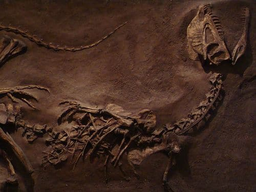 Squelette fossile de Dilophosaure.