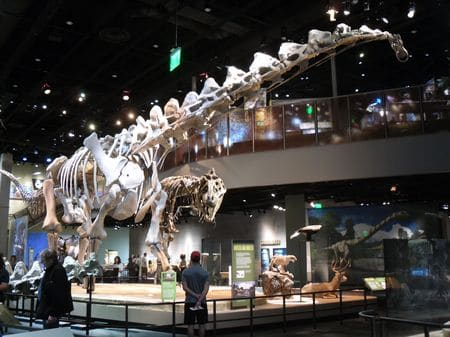 Alamosaurus fossile.