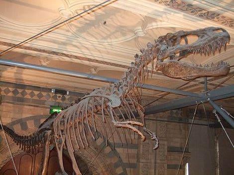 Squelette fossile Albertosaure.