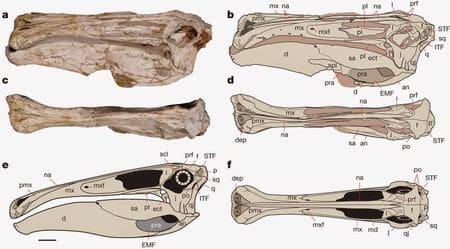 Fossiles de Deinocheirus.