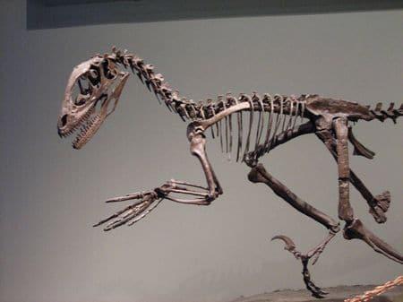 Fossile de Deinonychus.
