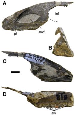 Fossiles du dinosaure Geminiraptor.