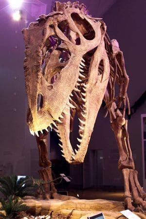 Giganotosaurus fossile.