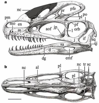 Crâne du dinosaure Guanlong.