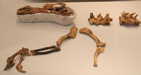 Fossiles du dinosaure Guanlong.