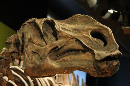 Tête fossile d'un dinosaure Hadrosaure.
