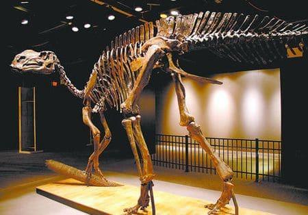 Squelette fossile d'un dinosaure Hadrosaure.