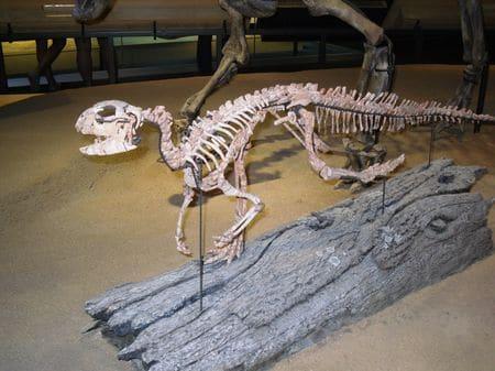 Squelette fossile d'Hypsilophodon.