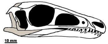 Crâne du dinosaure Juravenator.