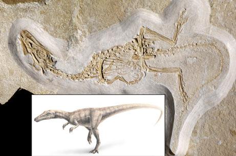 Fossile de dinosaure Juravenator.