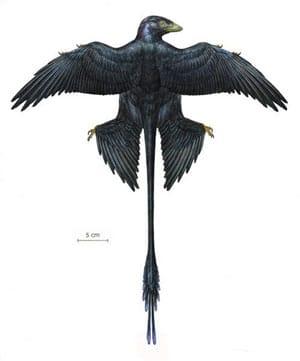 Microraptor avec ses plumes noires et sa longue queue.