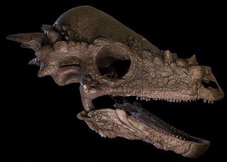 Fossile de crâne de Pachycephalosaurus.