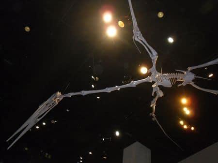 Squelette fossile de Pterodactyle.