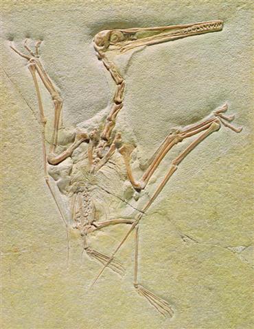 Pterodactylus (Ptérodactyle) fossilisé.