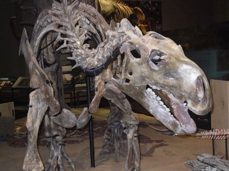 Squelette fossile de Tenontosaurus.