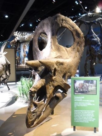Crâne fossile du dinosaure Torosaurus.