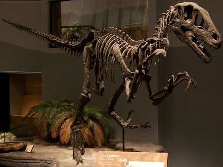 Fossile d'Utahraptor.