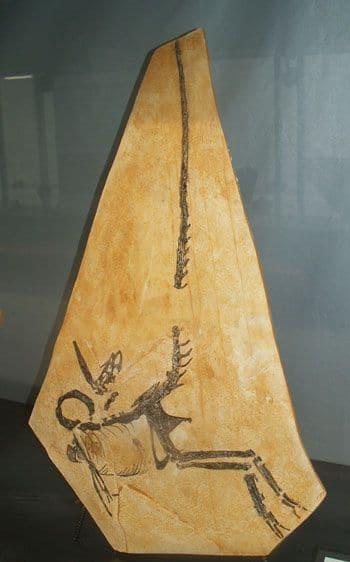 Compsognathus des calcaires lithographiques tithoniens du Plan de Canjuer (France).